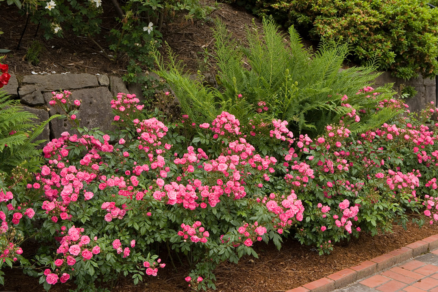 pink roses planted in garden bed