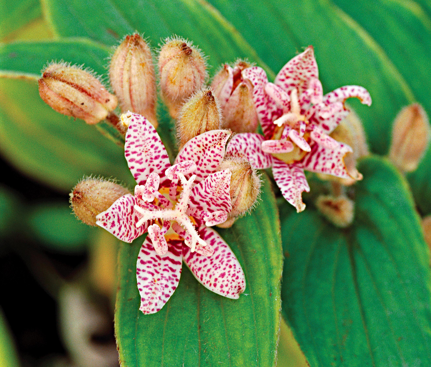 Common toad lily