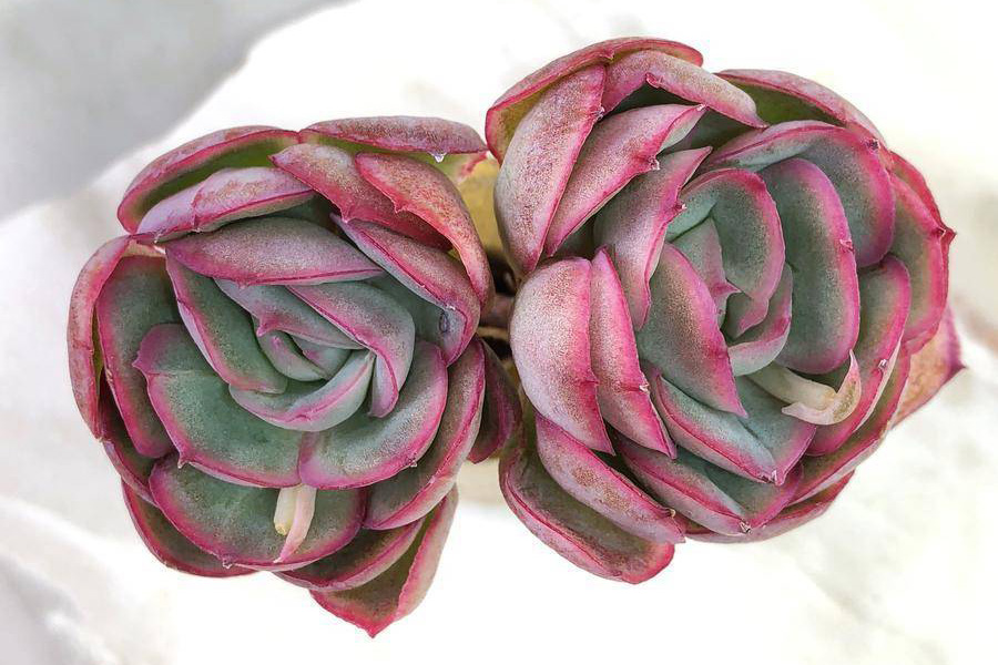 strawberry ice succulents