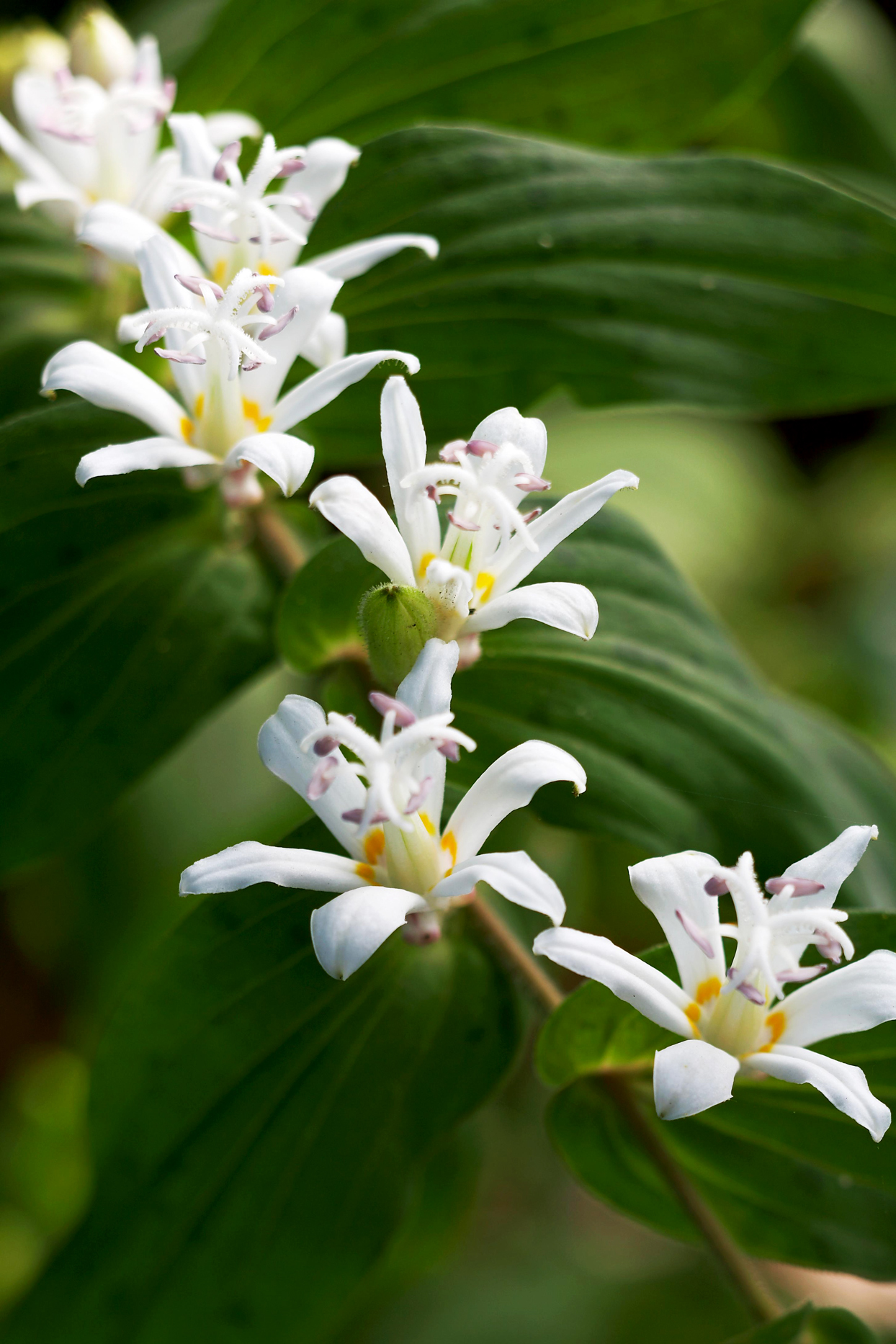 White Towers toad lily