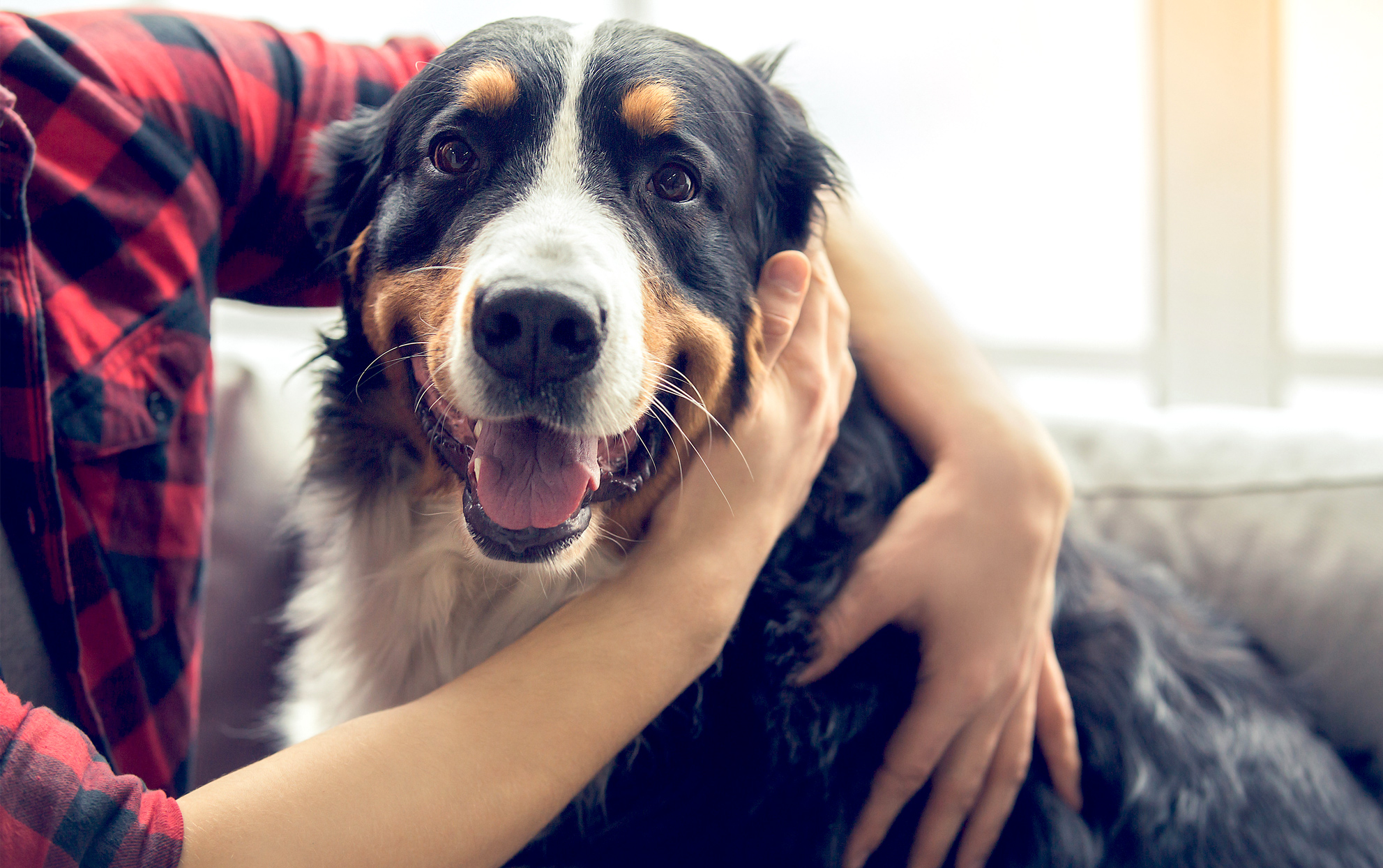 owner petting their Bernese Mountain dog
