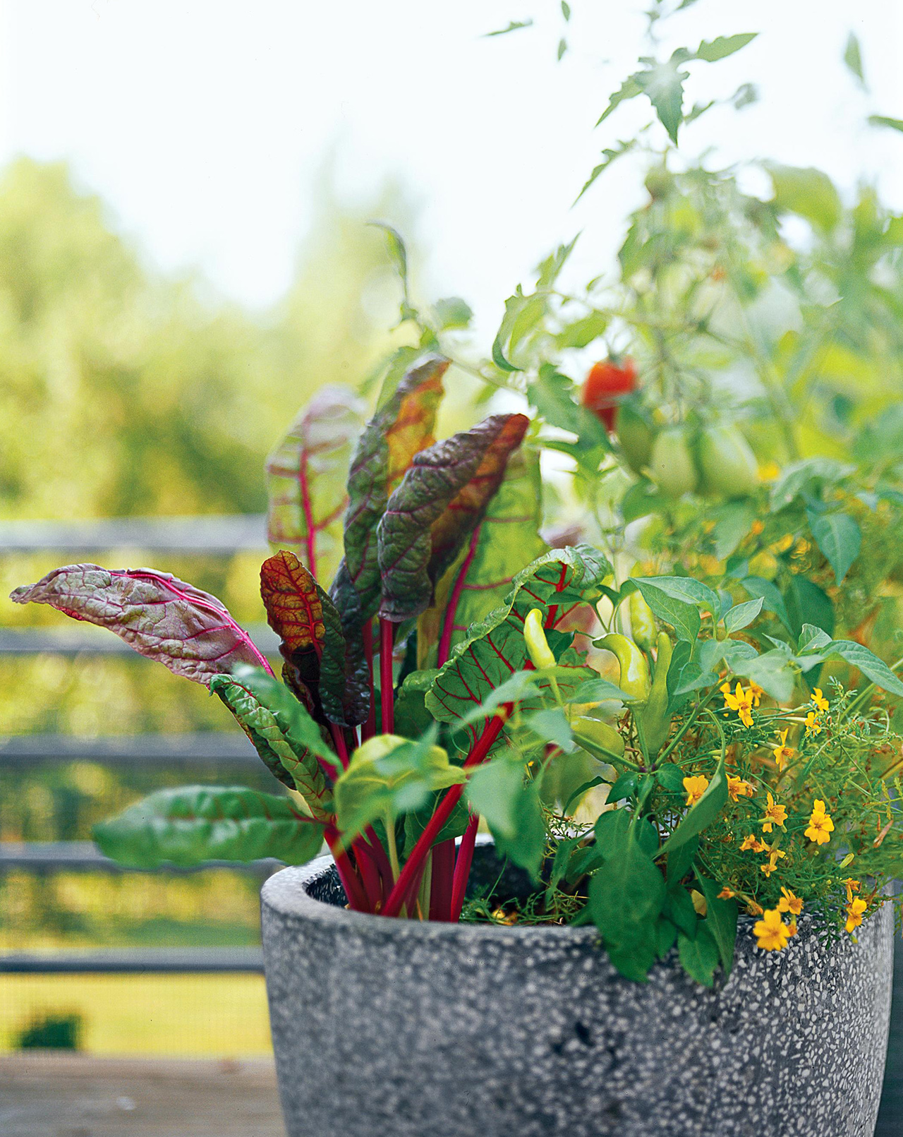 red-stemmed swiss chard in gray container
