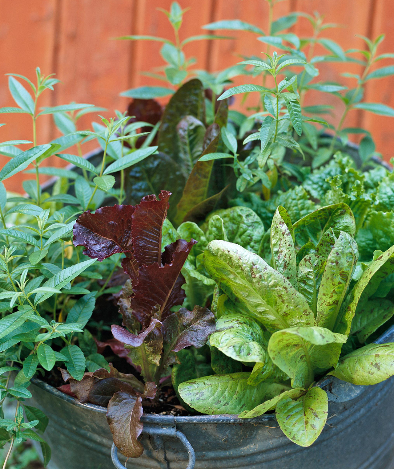 vegetable succession planting in metal container