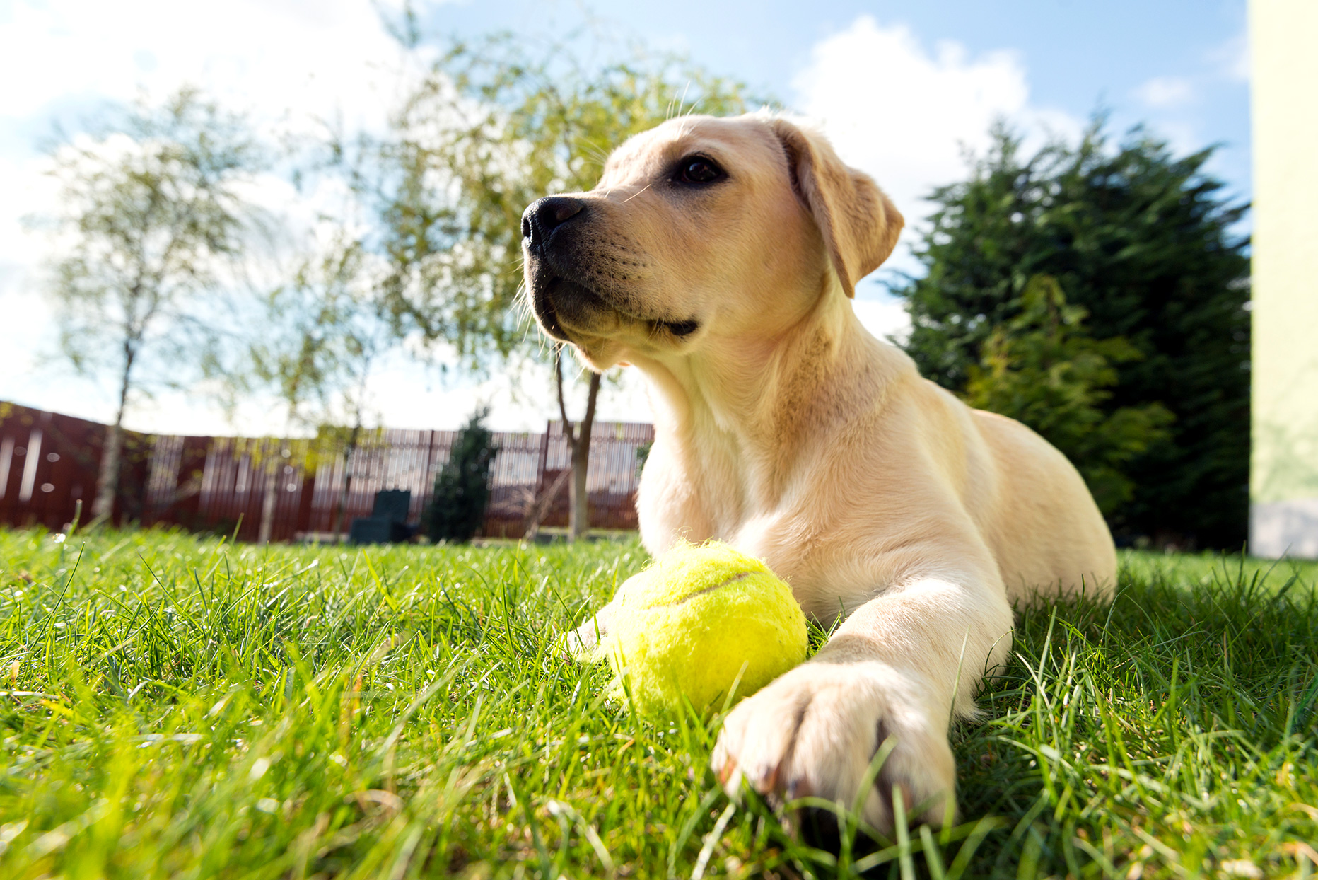 yellow lab dog with tennis ball