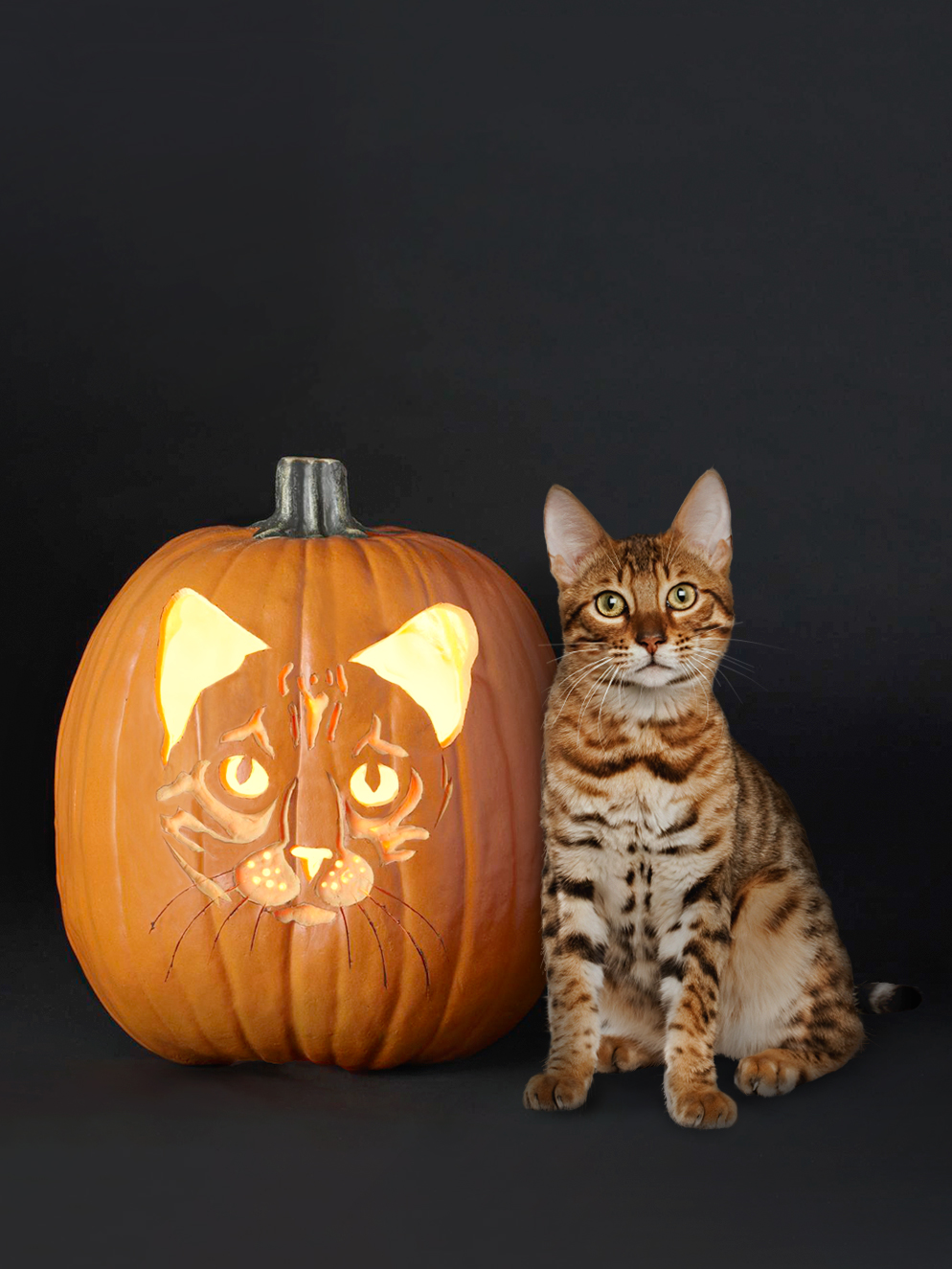 Bengal cat breed and stenciled pumpkin