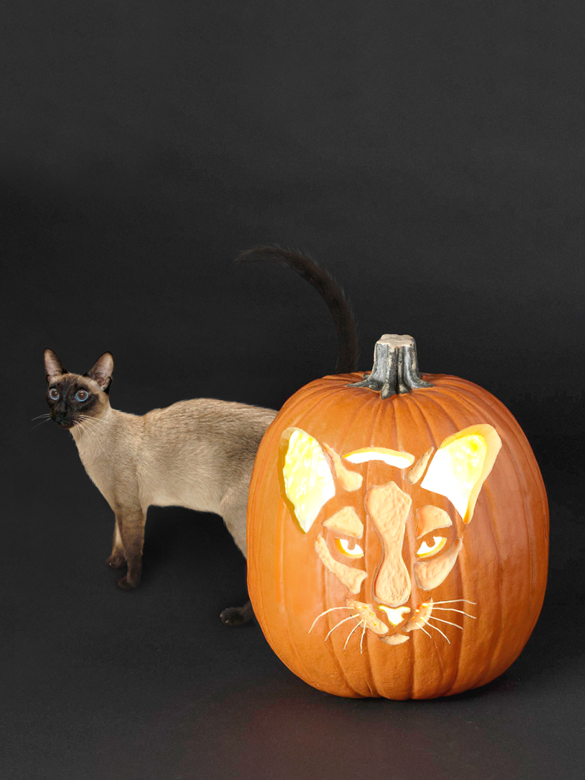 Siamese cat breed and stenciled pumpkin