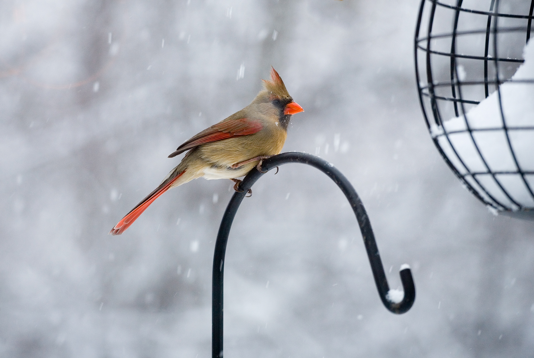 cardinal sitting on black metal perch in snow