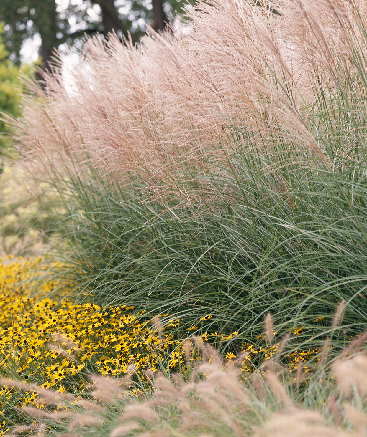 Miscanthus ornamental grass
