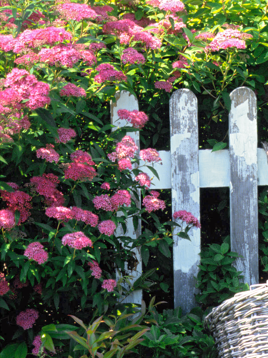 Spiraea japonica 'Anthony Waterer' near fence