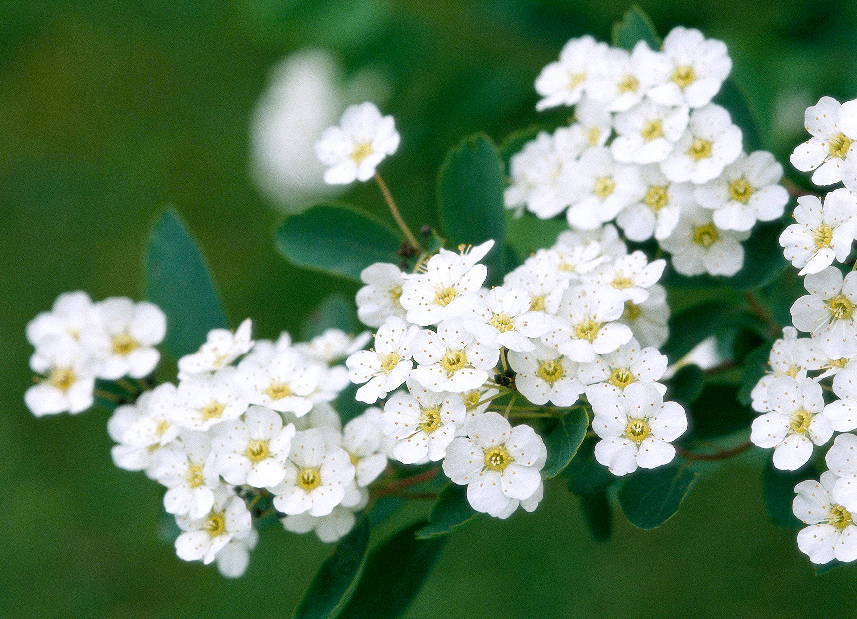 Spiraea nipponica 'Snowmound' with white blooms