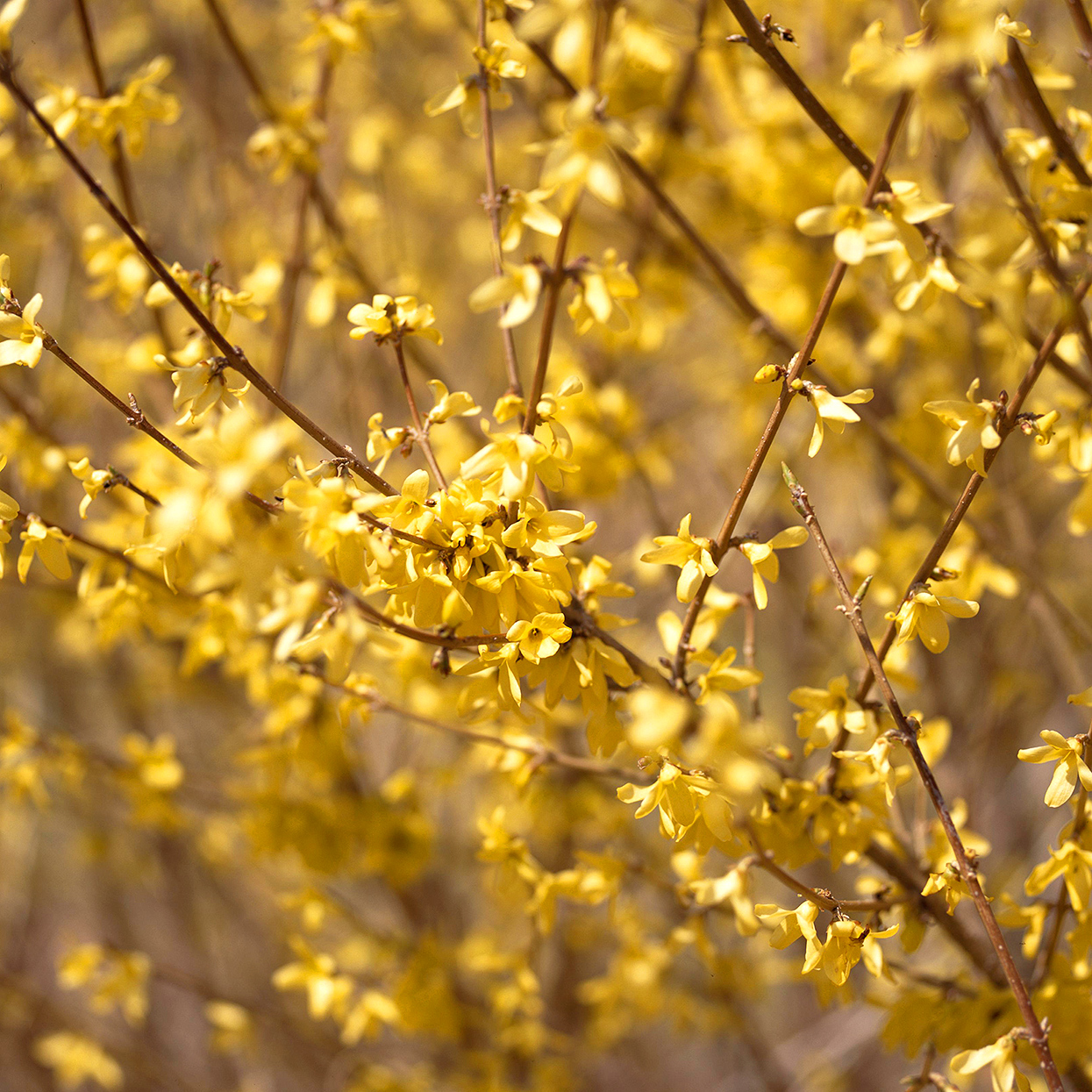 yellow Forsythia 'Northern Sun' branch detail
