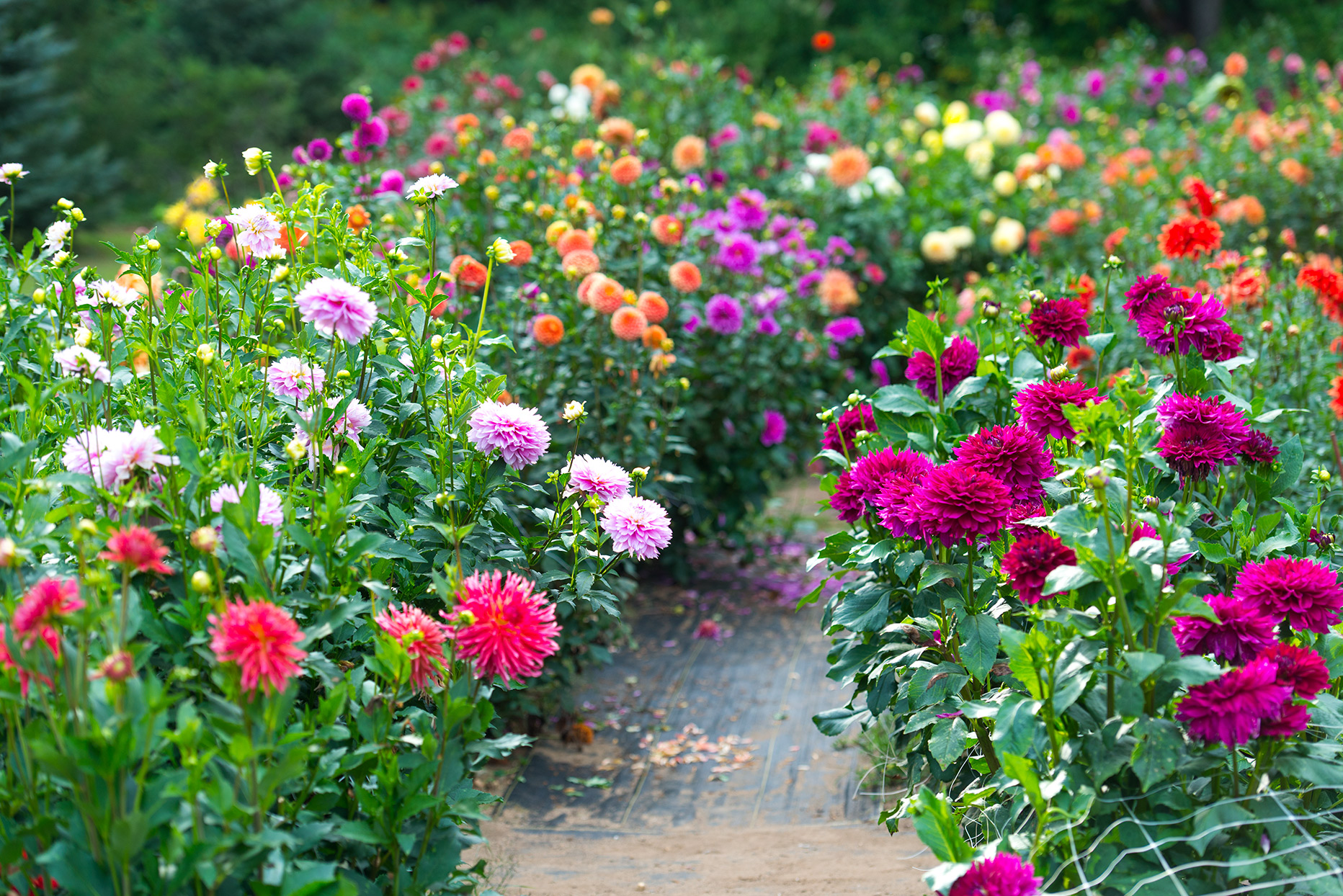 garden full of dahlia flowers in a variety of colors