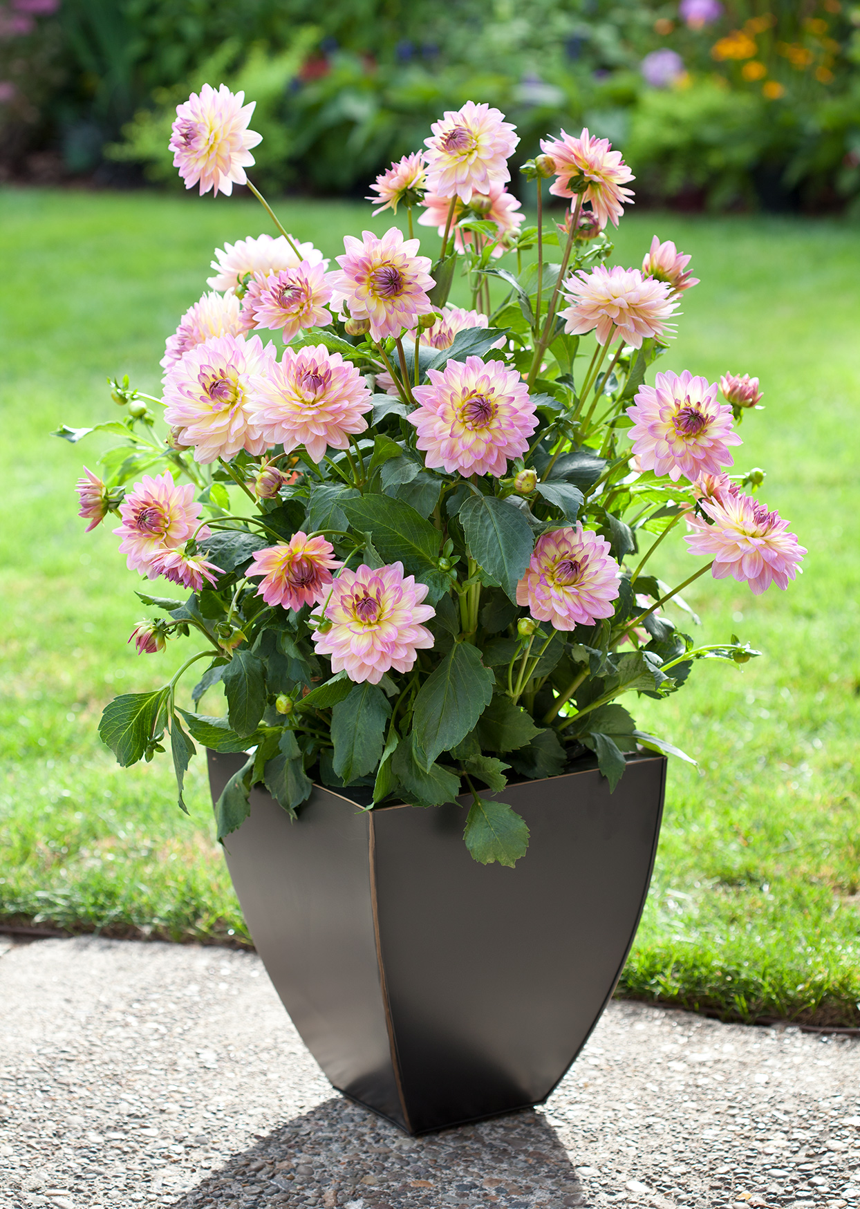 pink dahlias growing in dark gray container outside