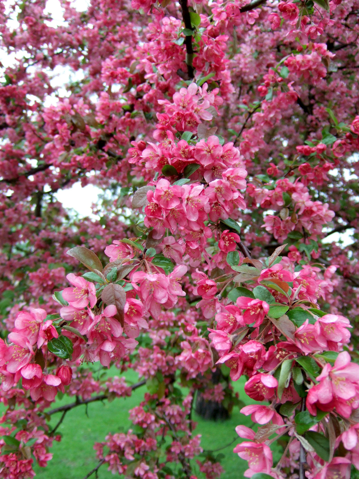 bright pink Adams crabapple blooms on tree