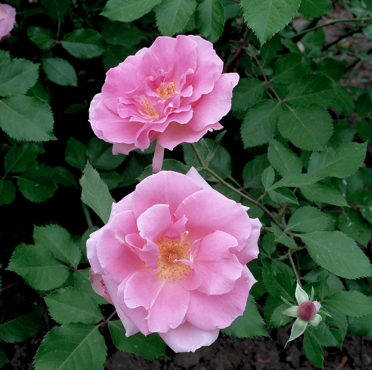 carefree beauty rose 'bucbi' with double pink blooms