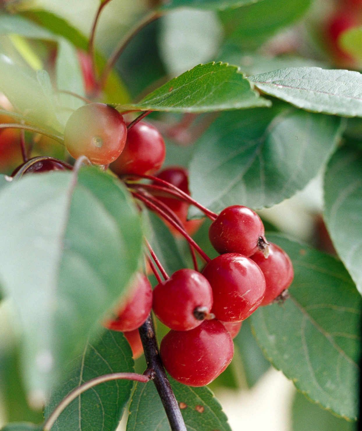 Profusion crabapple fruits in bunch on tree branch