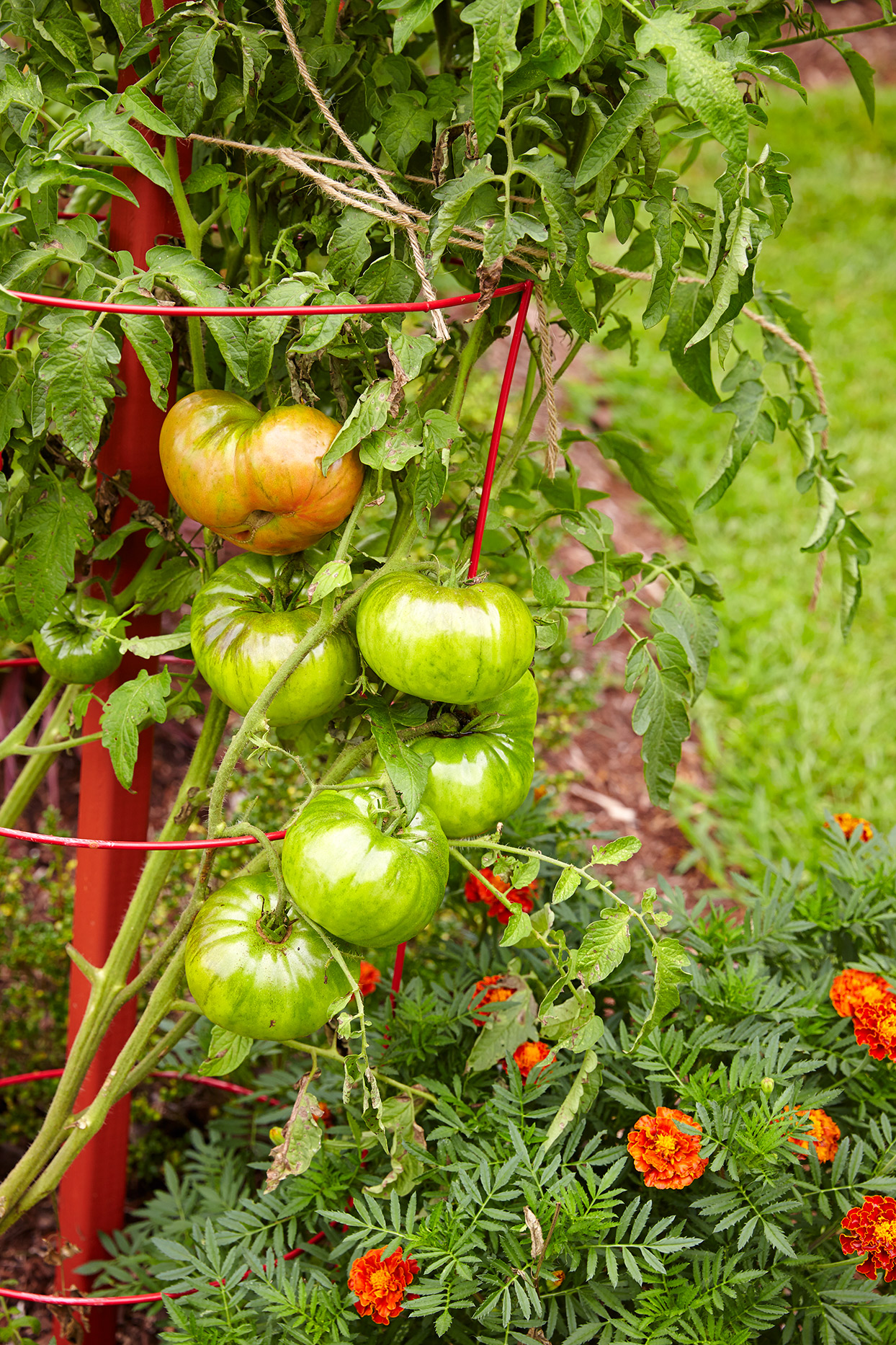 tomato plant with green tomatoes in garden with cage and stake