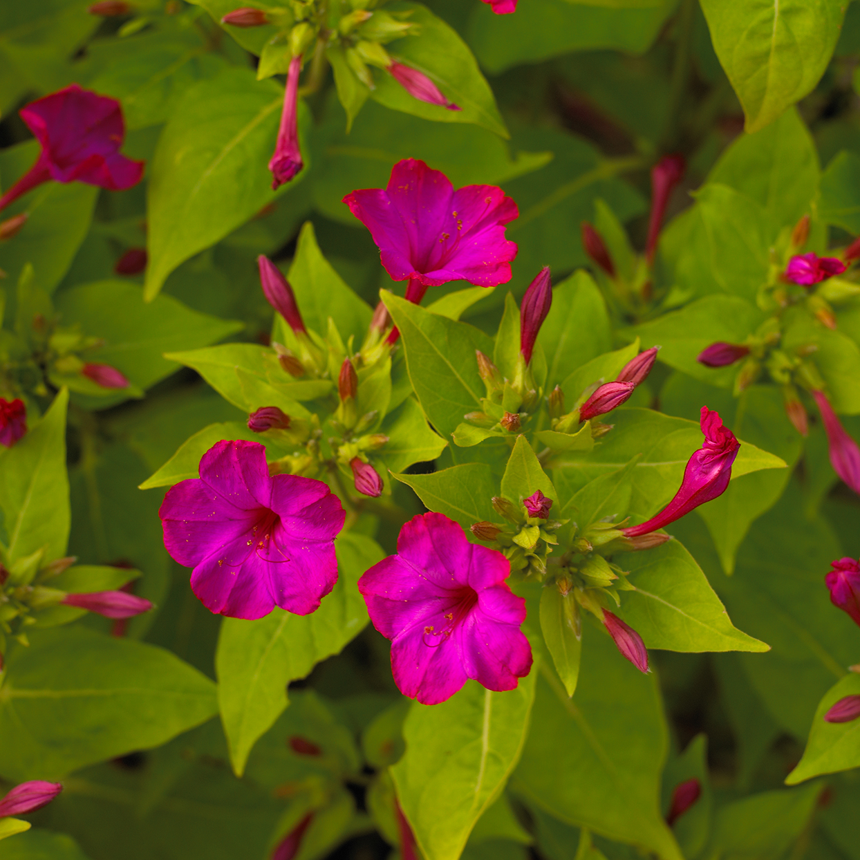 four o clock pink flowers blooming in garden