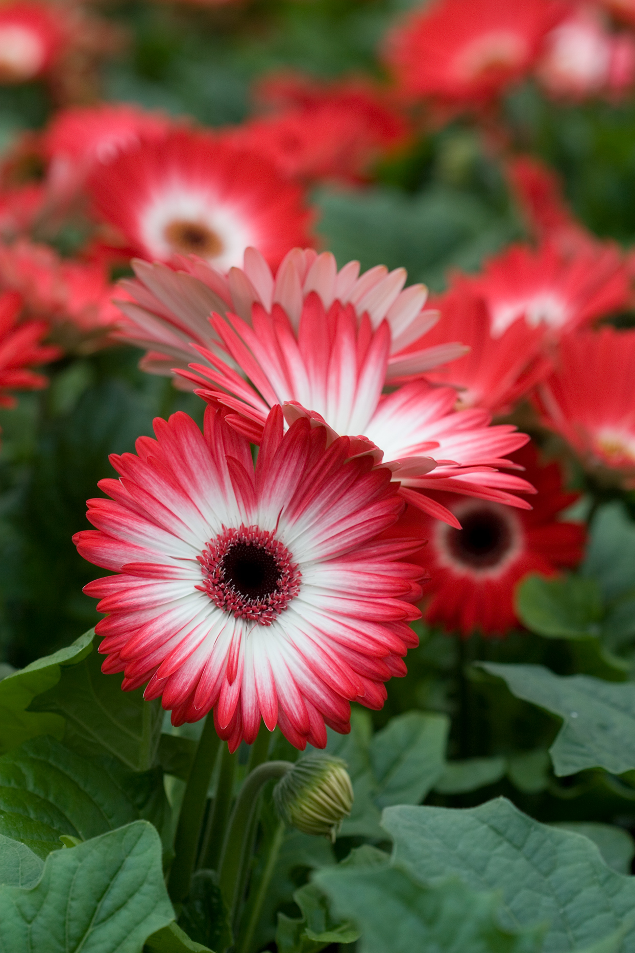 red gerbera daisies with white centers