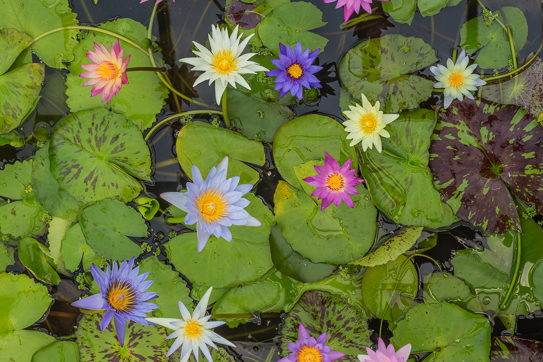 variety of colorful water lilies in pond with lily pads