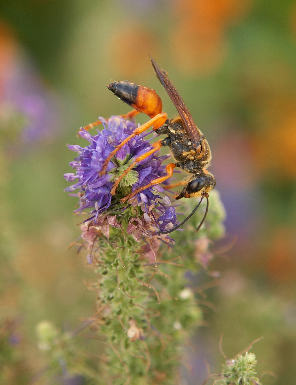 wasp on top of veronica plant flower