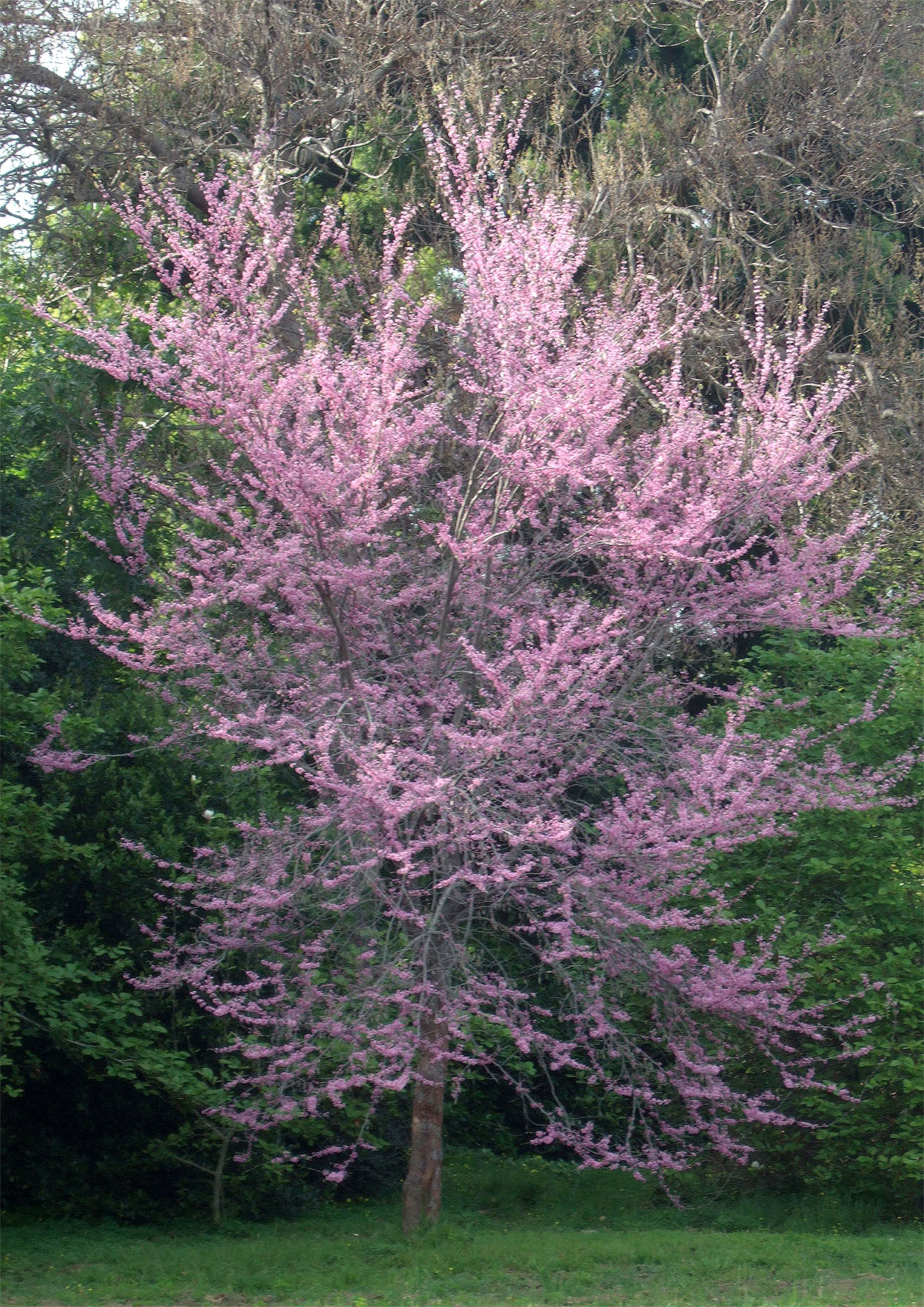 western redbud cercis occidentalis with light pink flowers