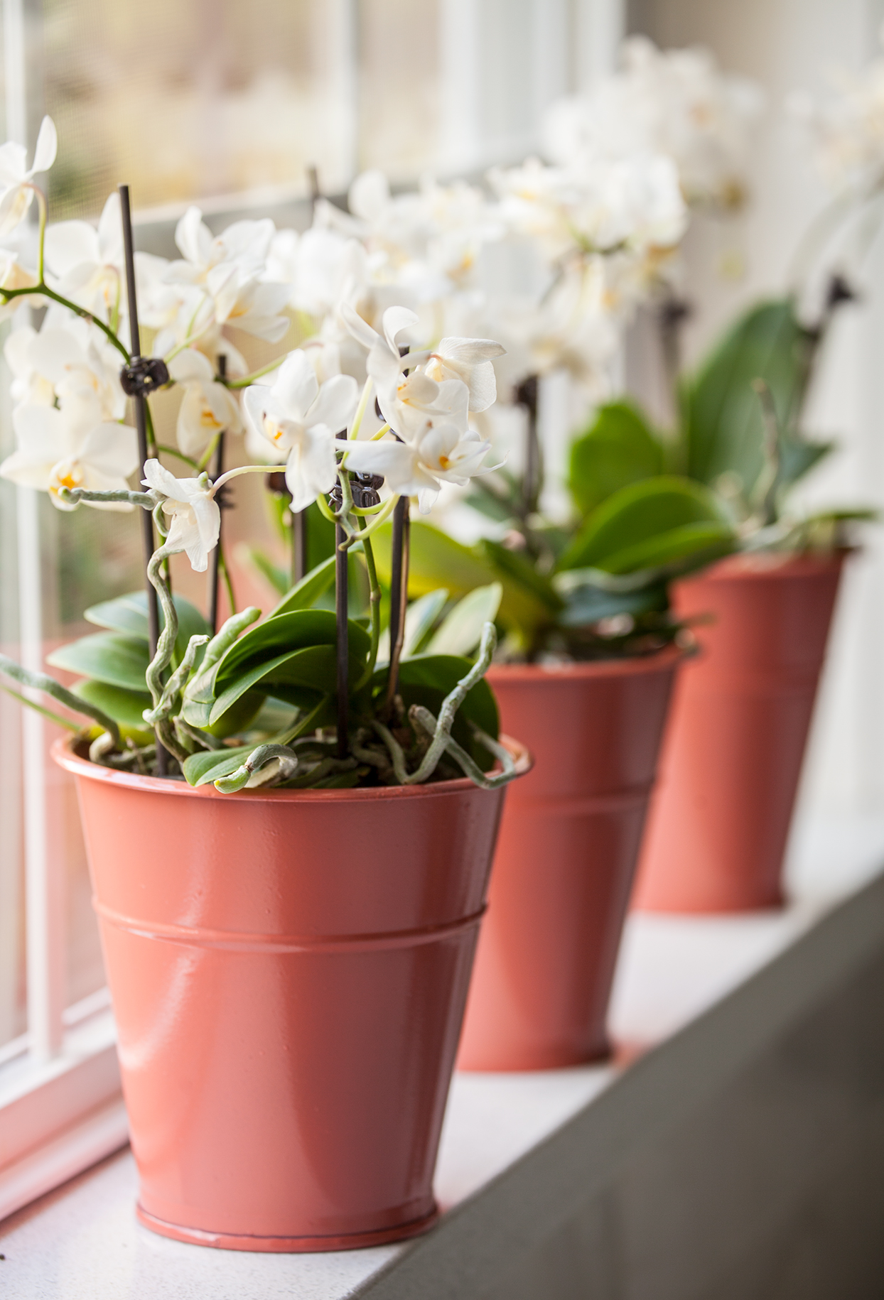 white potted orchids lined up on windowsill