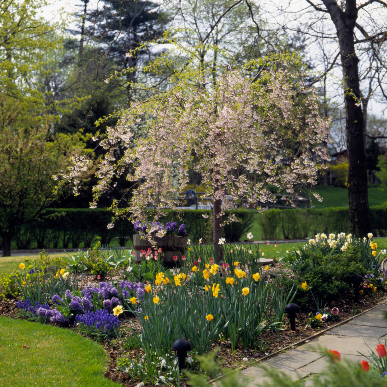 weeping cherry in garden with tulips and flowering bulbs