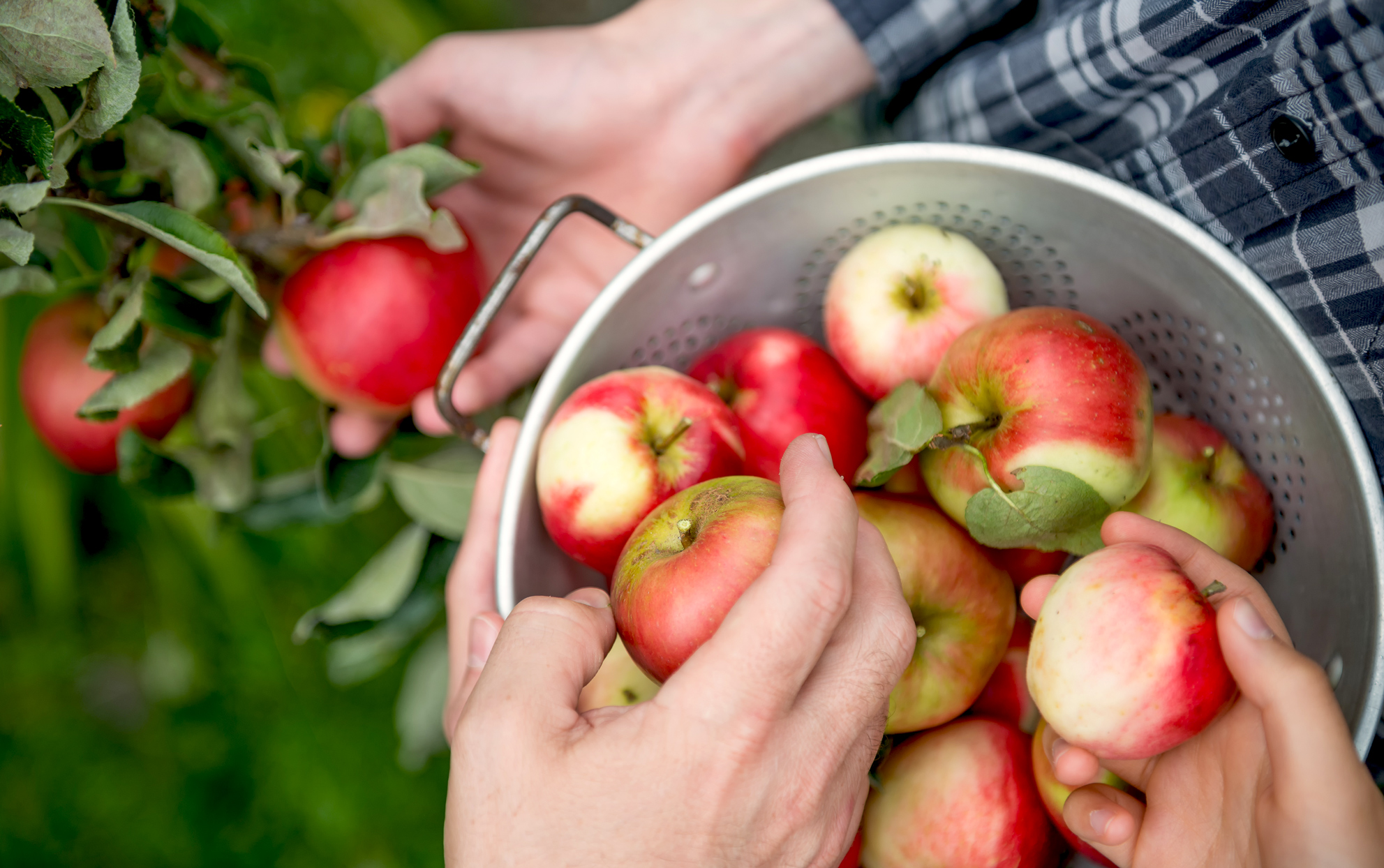 Close up of hands putting picked apples into a colander in an orchard