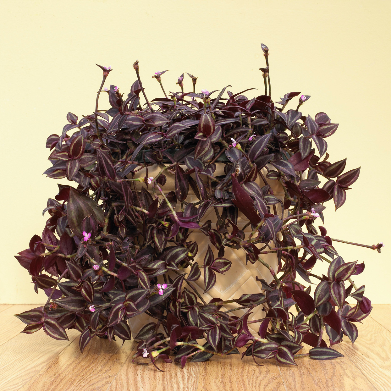 purple wandering jew houseplant