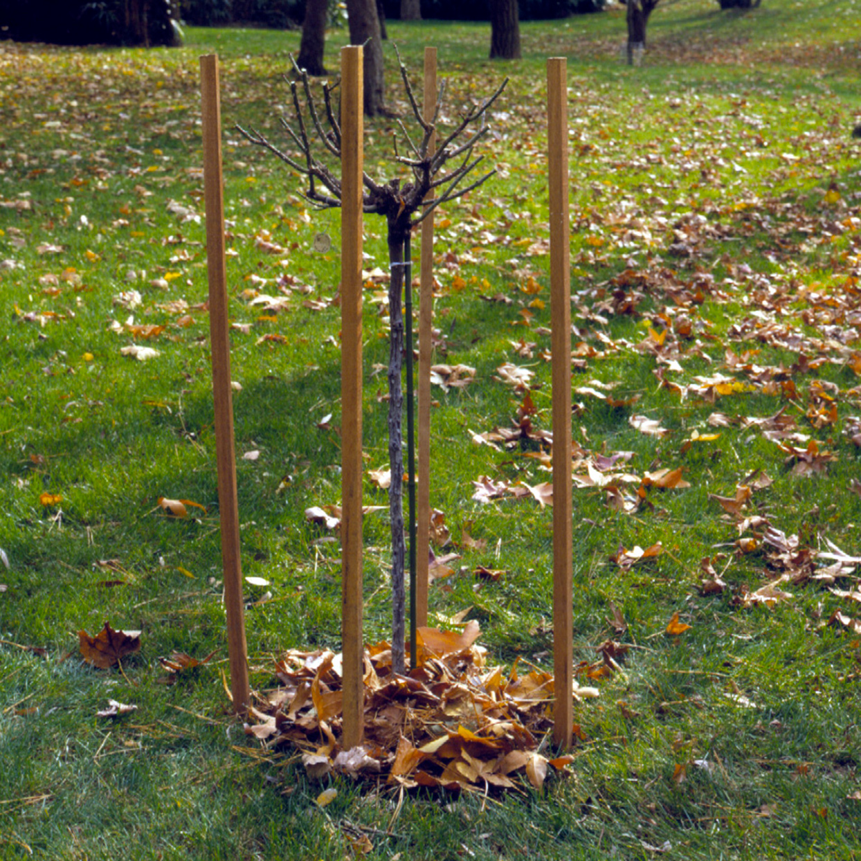 tree rose surrounded by wooden stakes