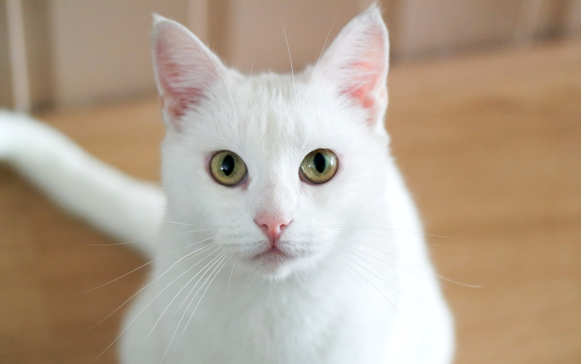 Close up of a white cat with green eyes