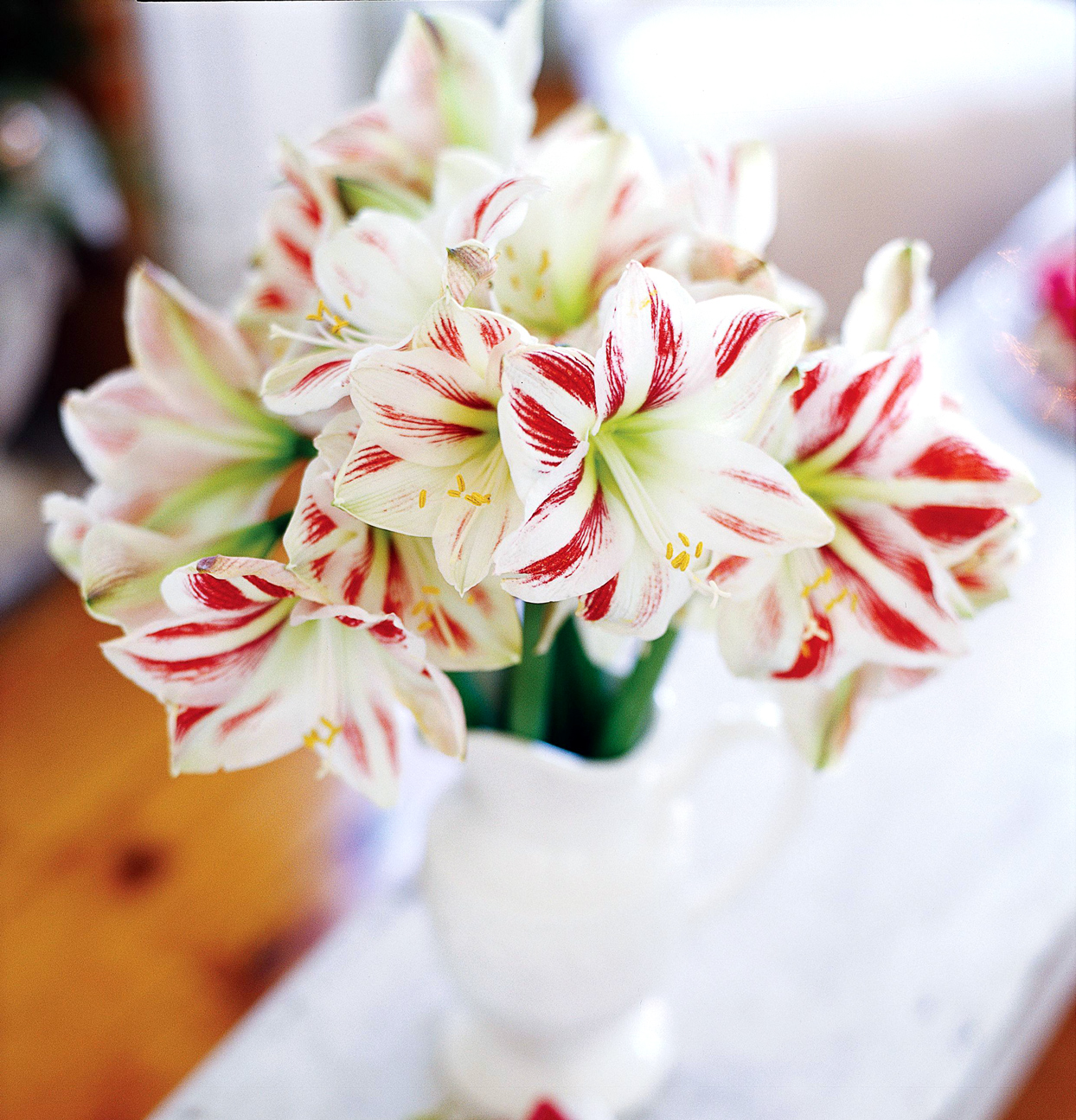 Red-and-White Amaryllis