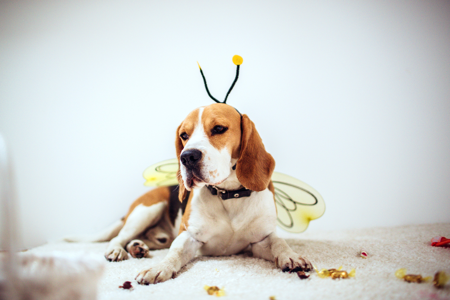 beagle dog in honey bee costume