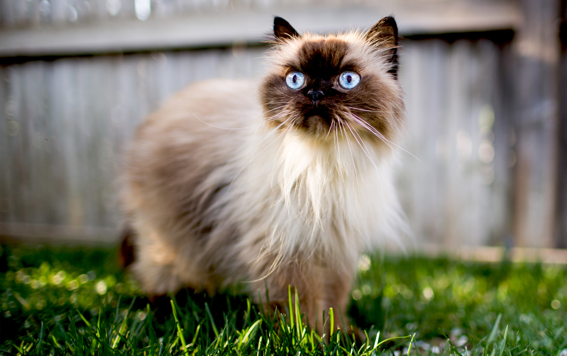 Himalayan cat outside in the grass