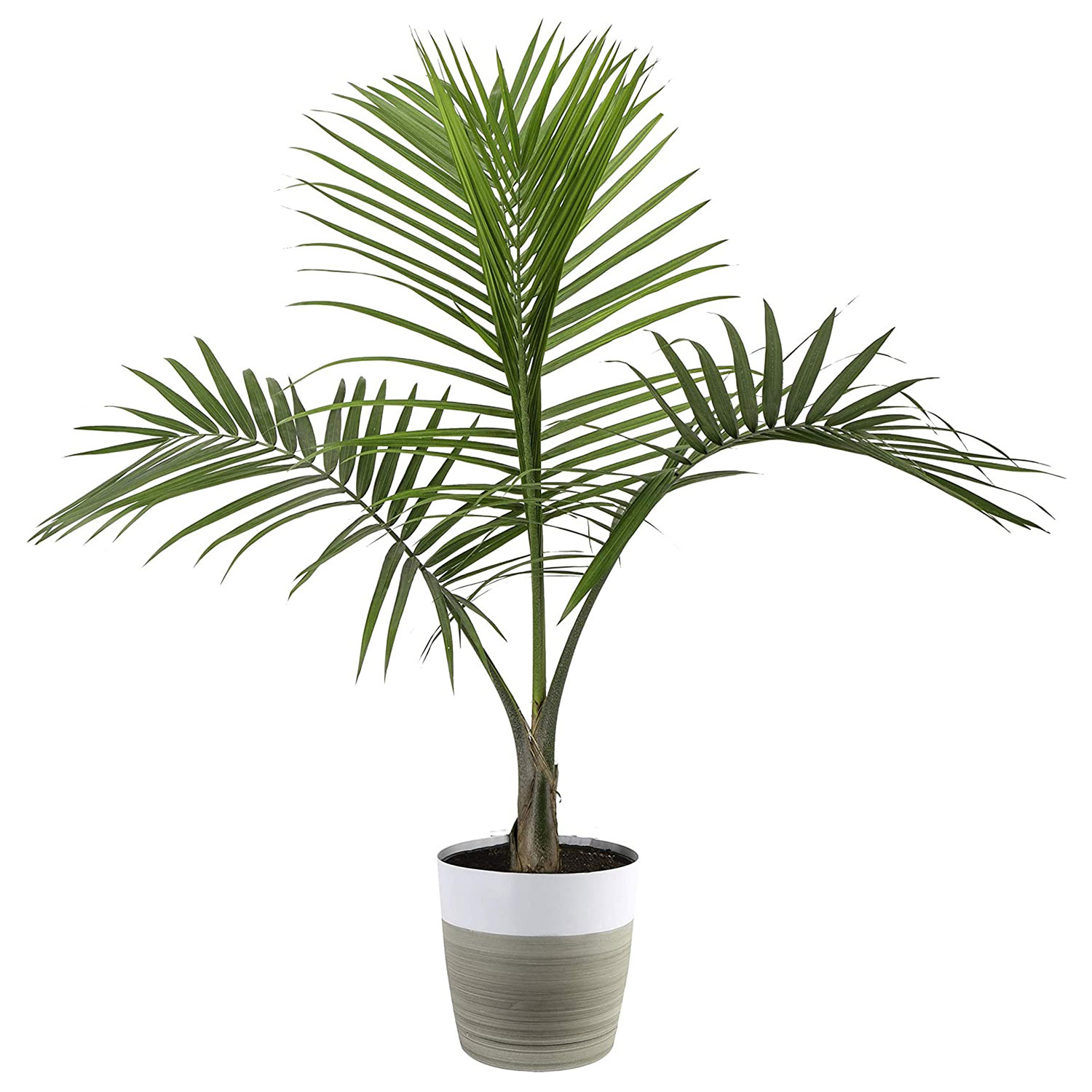 majesty palm tree indoor plant