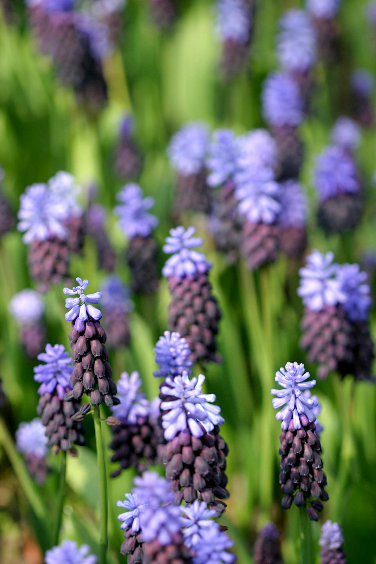 grape hyacinth Muscari latifolium