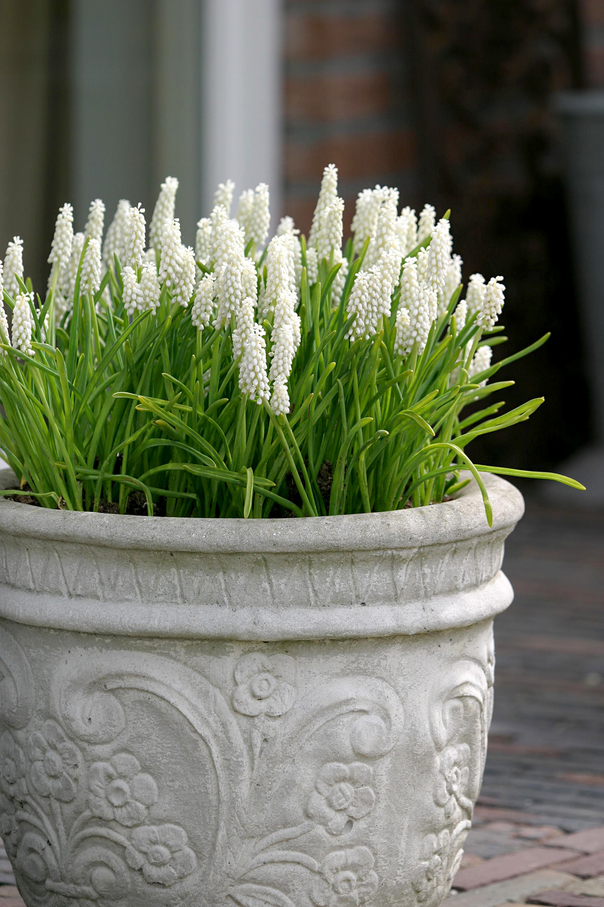White grape hyacinth
