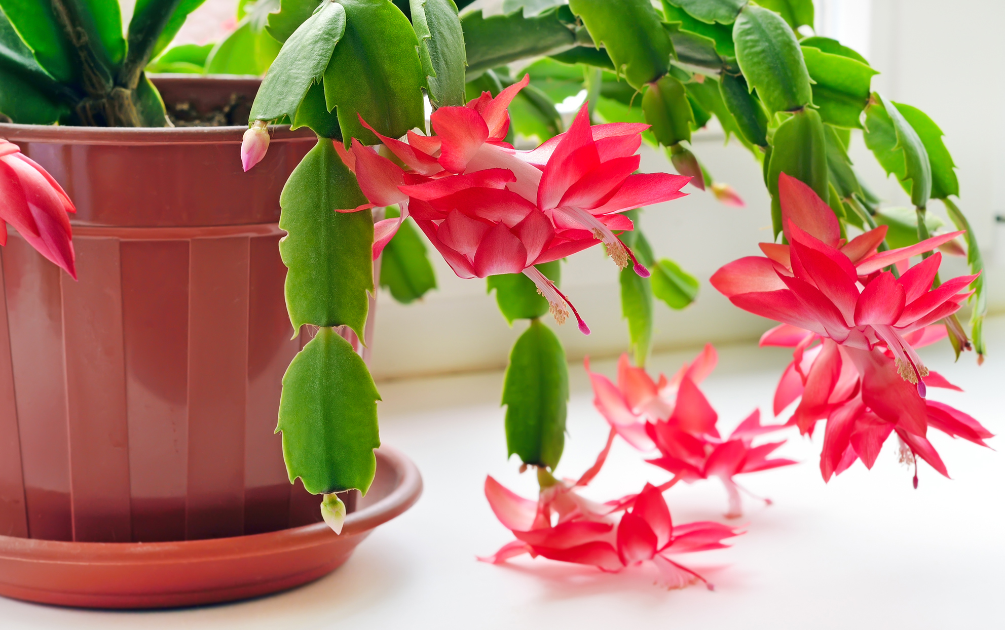 Christmas cactus plant in a red pot with near a window