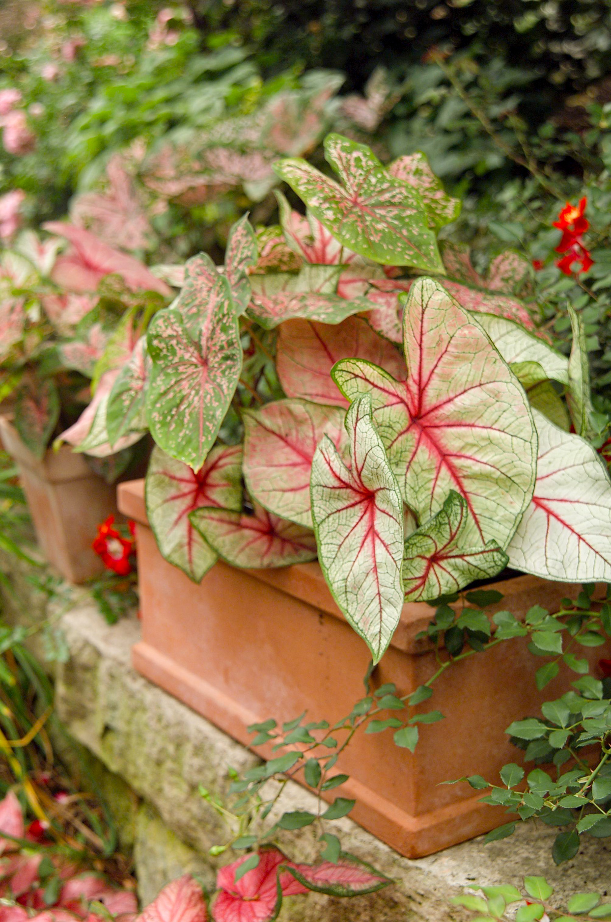 pink and green Caladium in planter