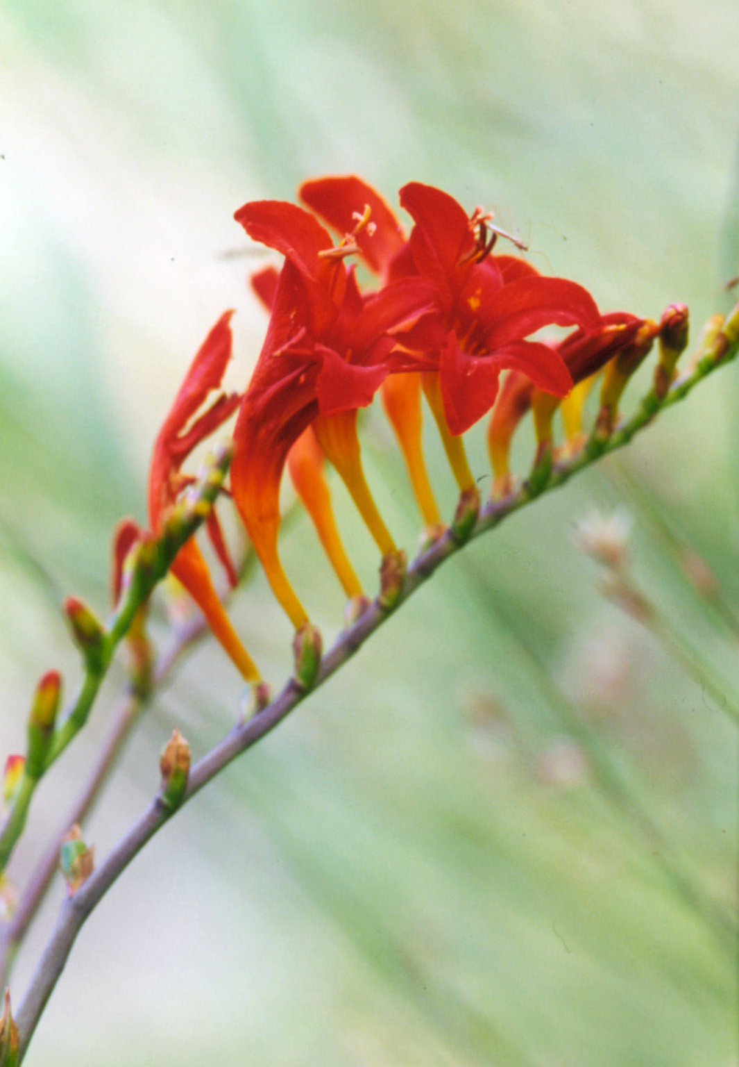crocosmia ember glow red flowers detail