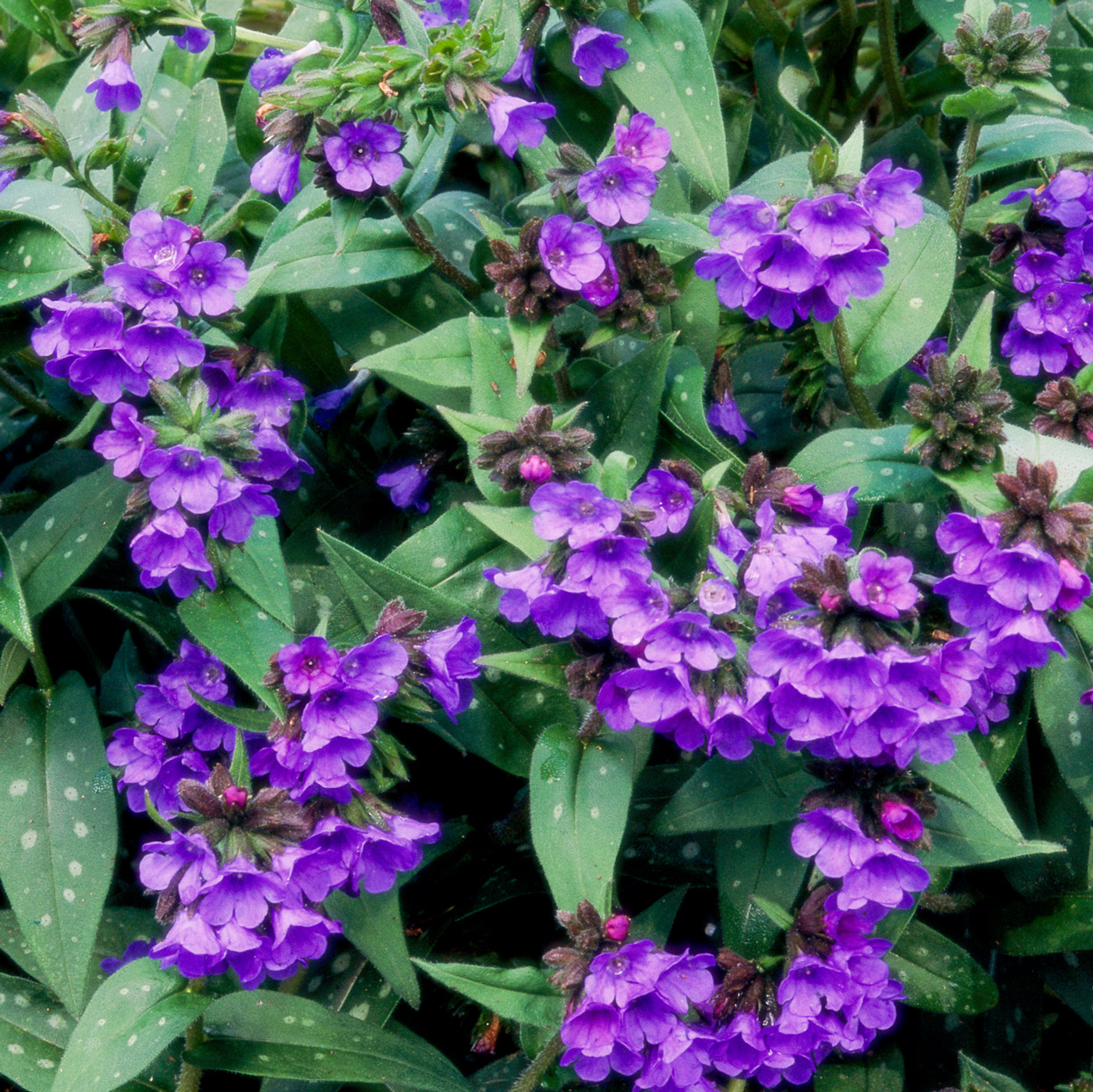 lungwort flowers