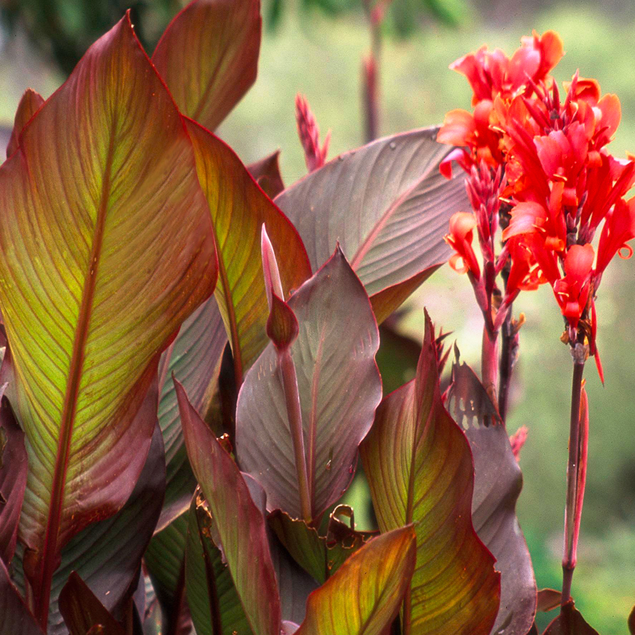 Australia canna with purple foliage and red flowers