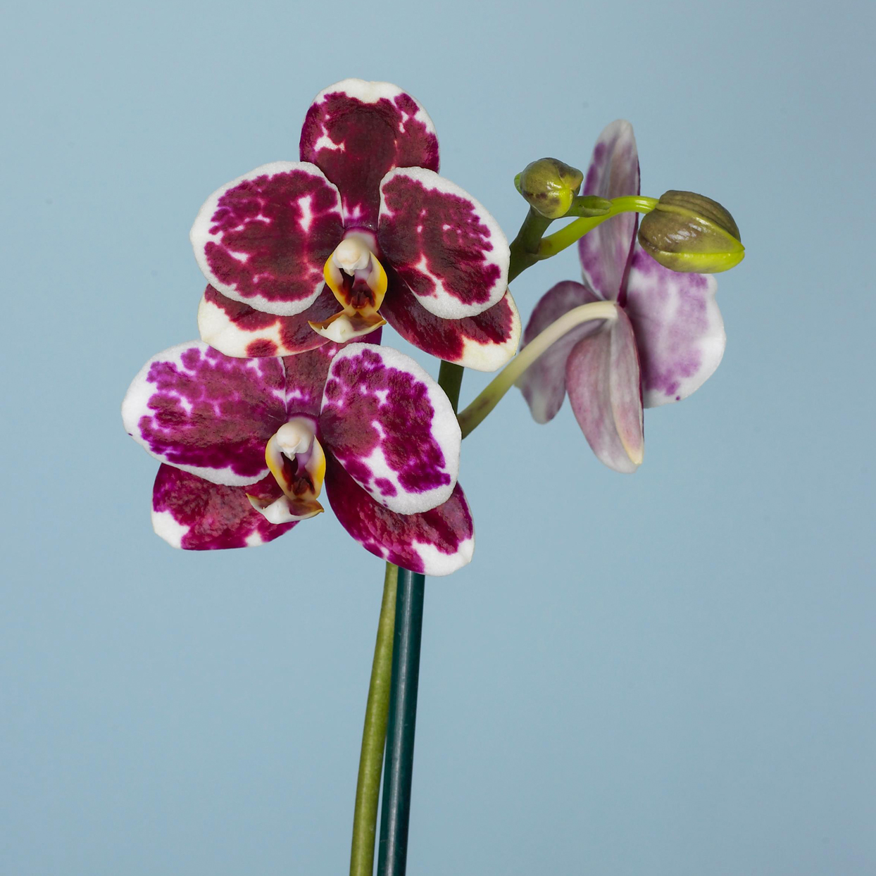 Golden Peacock Moth Orchid
