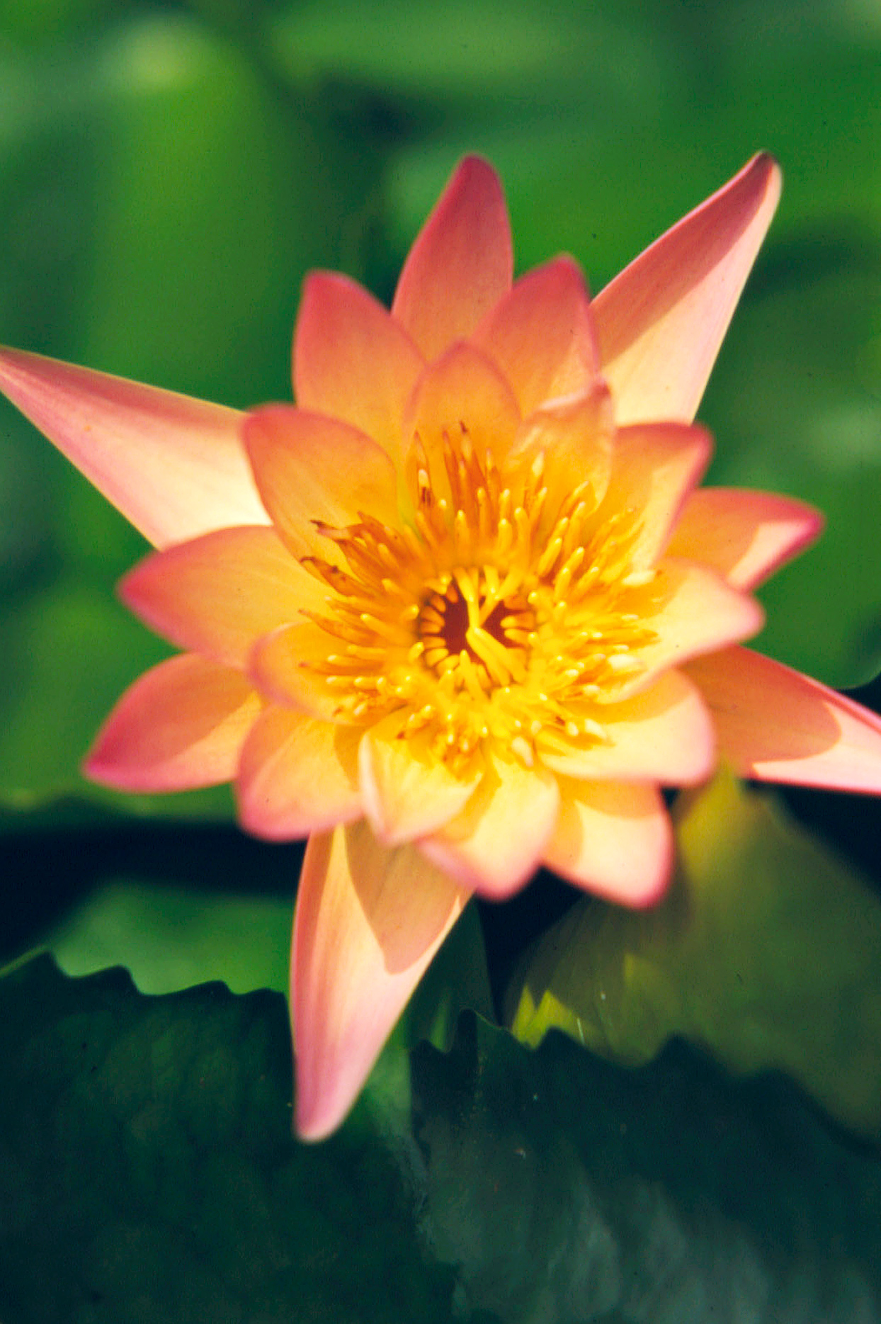 Afterglow water lily