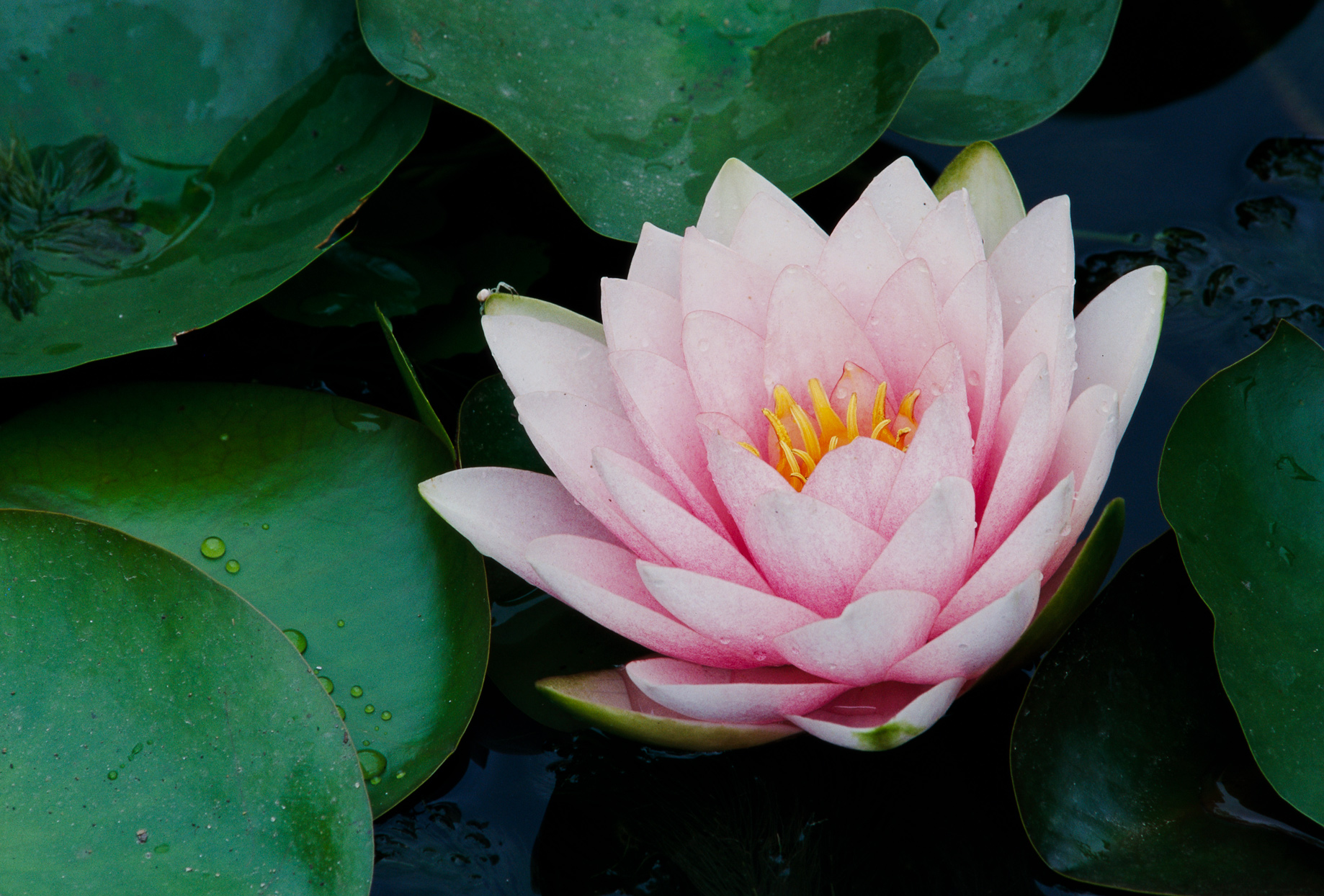 Luciana water lily