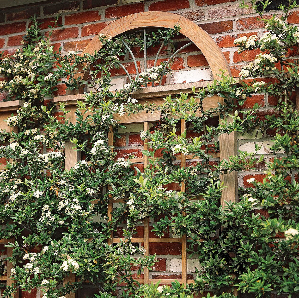 vines on trellis made from old window frame with arched transom