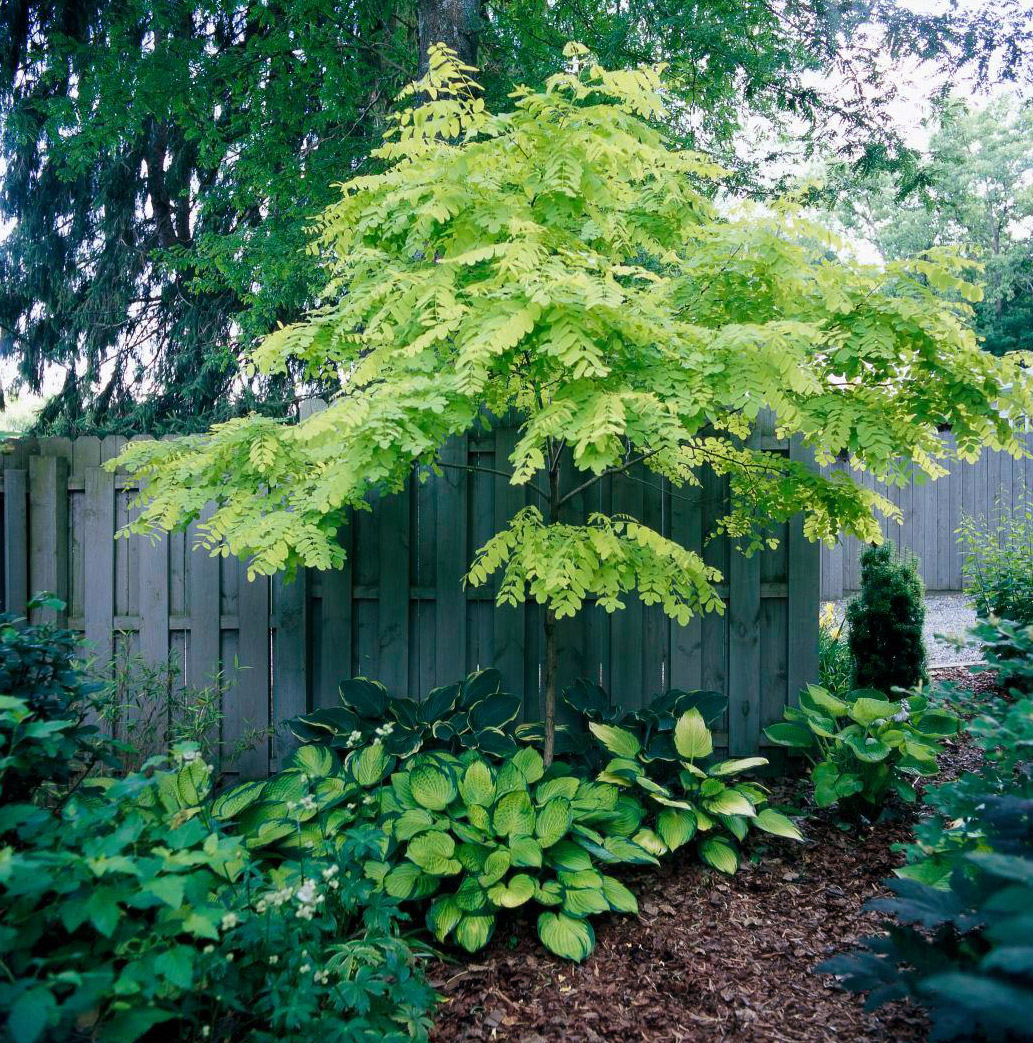 Golden Locust tree by wood fence
