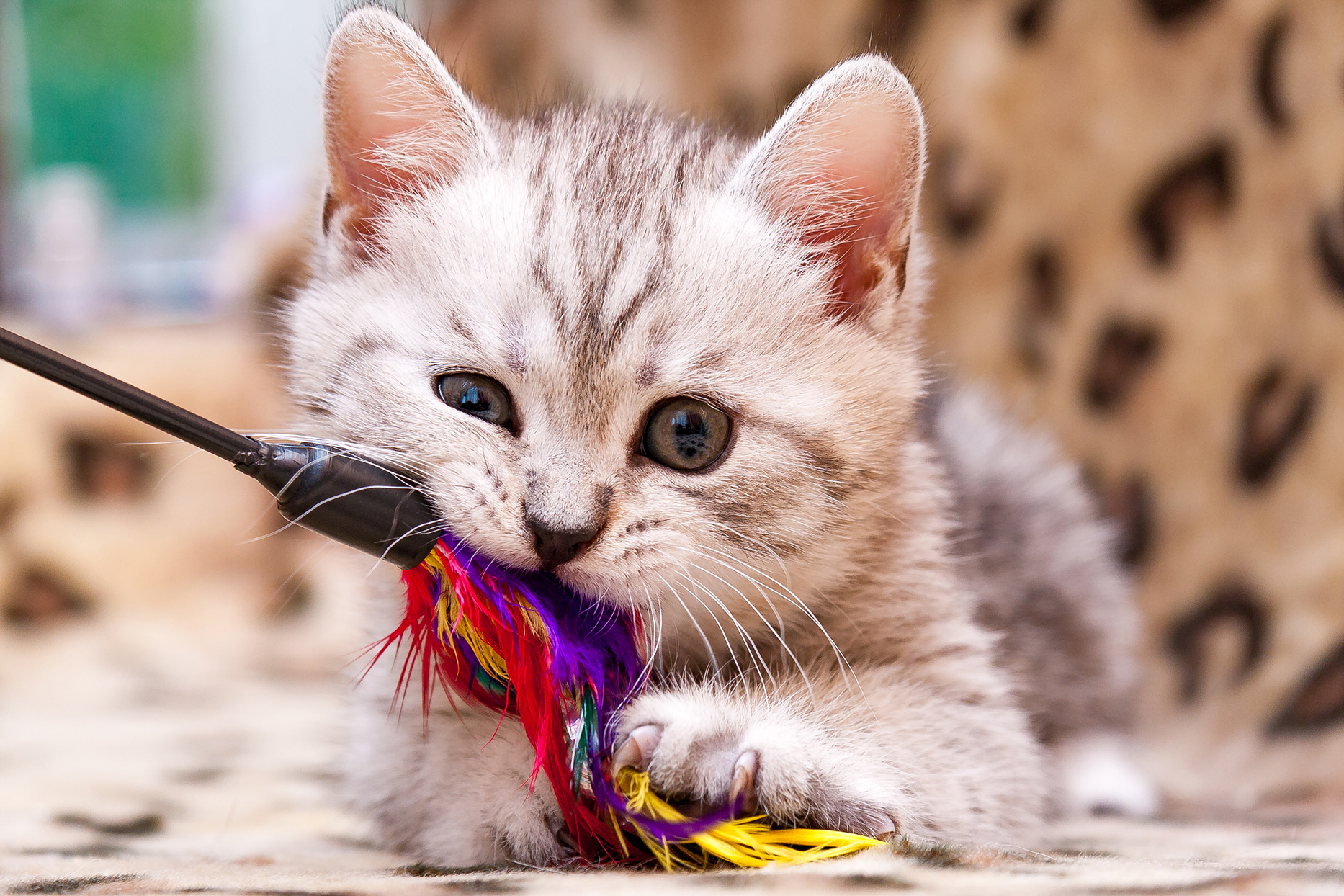kitten chewing on toy
