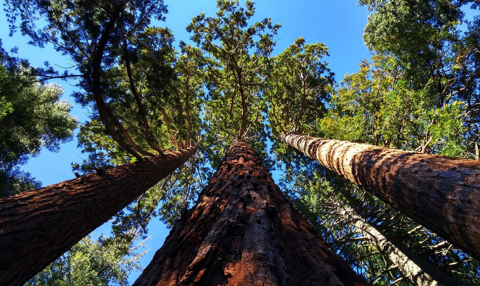 grove of giant sequoia trees against a blue sky
